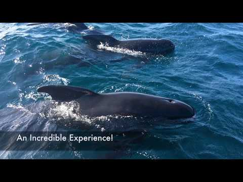 Up close encounter with Long Finned Pilot Whales