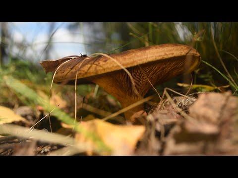 Знакомство с грибами Коровник Свинушка тонкая