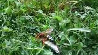 Huge Wasp Caught a Cicada