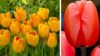 How to plant Dawrin Hybrid Tulips: Jeff Turner planting giant Tulip bulbs in the border