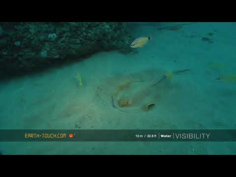 Large Guitarfish Up Close & A Ray Hunts In The Sand