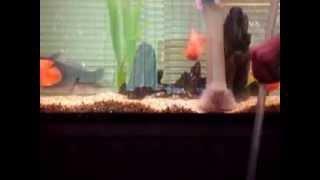 Обучение чистки аквариумного дна Сифоном