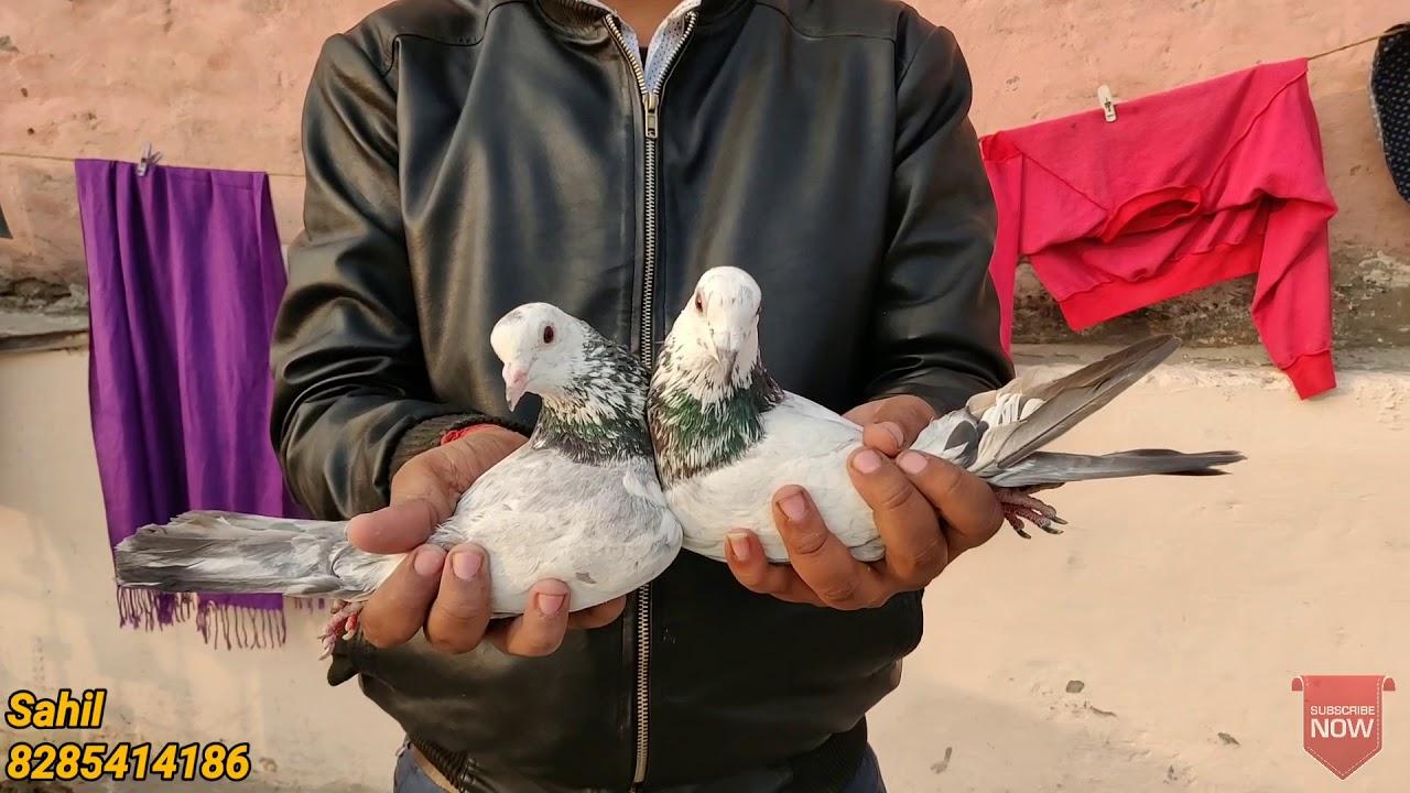 Repeat MADRASI PUNJABI KABUTAR FOR SALE ||SAHIL BHAI, VIKAS