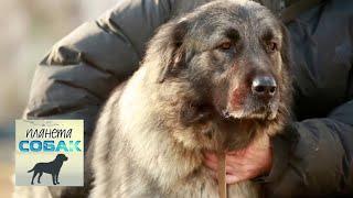 Шарпланинская овчарка. Планета собак 🌏 Моя Планета