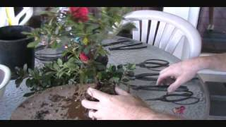 How To Create an Azalea Bonsai From a Nursery Plant