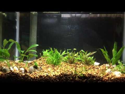 Planted boesemani fry 5 gallon mini tank