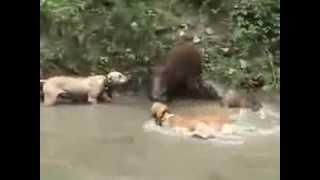 Собаки против дикой свиньи
