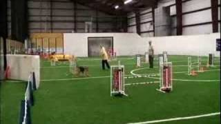 Airedale Payton's Agility Debut