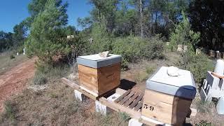 Les frelons me perce une ruche 😬
