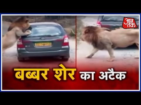 Watch How Two Lions Attacked A Car At Bengaluru's Bannerghatta Park