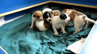 Parson Russell Terrier Welpen - Parson Of Pirates' C-wurf