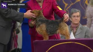 Norwich Terriers | Breed Judging 2020