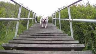 American Bulldog X Dogo Argentino