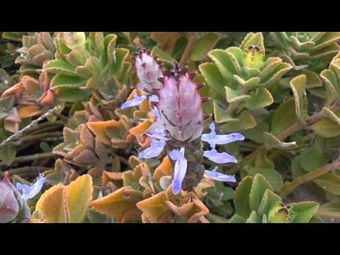 Orégano francés: Plectranthus amboinicus  (www.riomoros.com)
