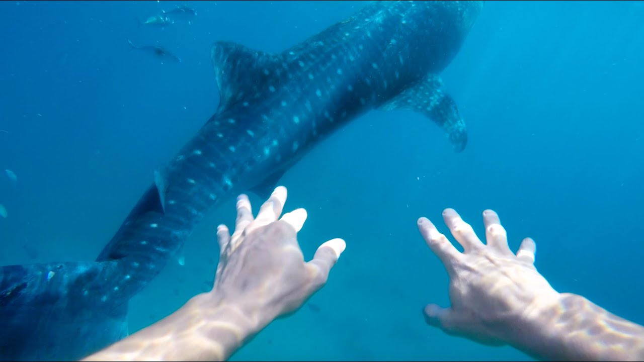 SWIMMING WITH THE WORLD'S LARGEST FISH (WHALE SHARKS IN OSLOB)