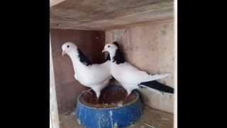 Бакинские бойные голуби ( Асхат Алиев , Казахстан )