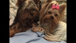 Opie Faith first 6 month of happy Yorkie Life