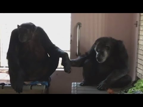 Rescued Chimp Won't Stop Holding Hands With New Friend