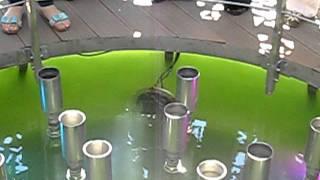 видео Ревень черноморский