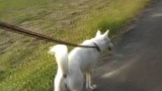 ステディカムを使用して普段の散歩を撮影しました。紀州犬です。