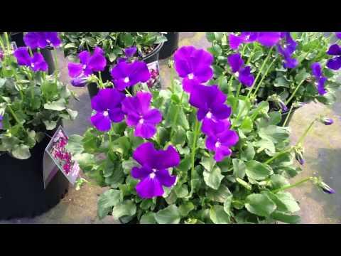 Viola Purple Showers