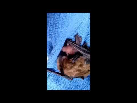 Big Brown Bat Mama - Nature's Nursery