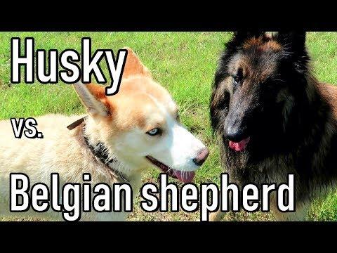 Friendship Between a Husky and a Belgian Shepherd
