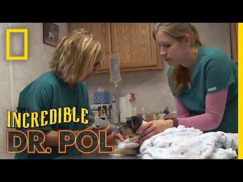 What's Moo with Ewe? (Full Episode)   The Incredible Dr. Pol