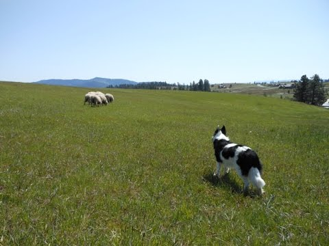 how-to-drive/move-stock-demo----part-3----herding-dog-training----field-sheep-work---border-collie