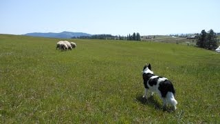How To Drive/move Stock Demo -- Part 3 -- Herding Dog Training -- Field Sheep Work-- Border Collie