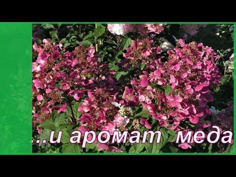Медовая метельчатая гортензия Вимс Ред.  Мои сорта гортензии в саду.
