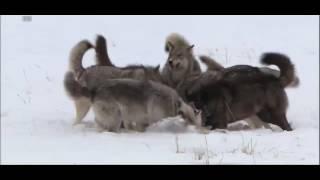 Стая волков против койота / Wolves v koyote HD