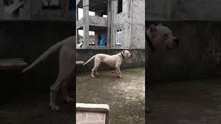 DOGO ARGENTİNO ALAN KORUMA #bodyguard #dogo #dogoargentino #türkiye #dog #karadeniz #rize #animal