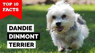 Dandie Dinmont Terrier  Top 10 Facts