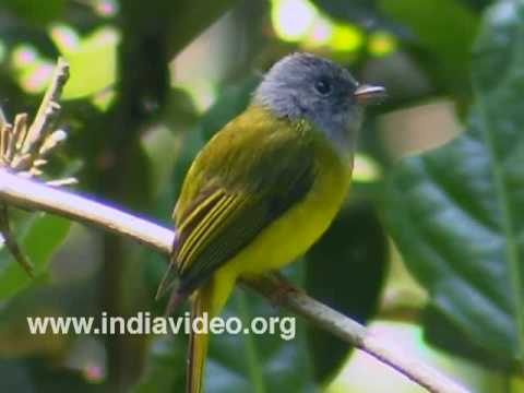 Grey Headed Flycatcher or Culicicapa ceylonensis