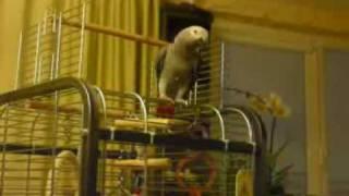 Papuga zako bartas zaidzia su teniso kamuoliuku 2