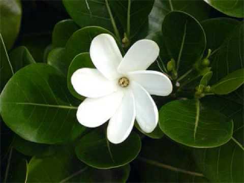 Te Tiare - Love Song by Hawaiian Heart