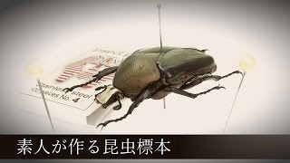 素人が作る昆虫標本【ガバガバ展足】