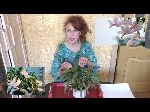 Формирование кроны и обрезка зигокактуса. Декабрист цветок уход и размножение