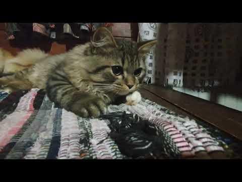 Что не так с этим котенком? Летающий кот и собака. Акита и кот