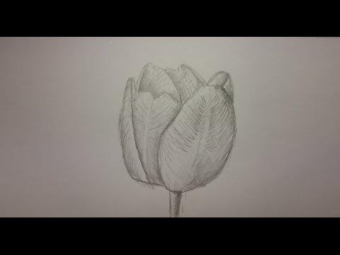 Как нарисовать тюльпан.