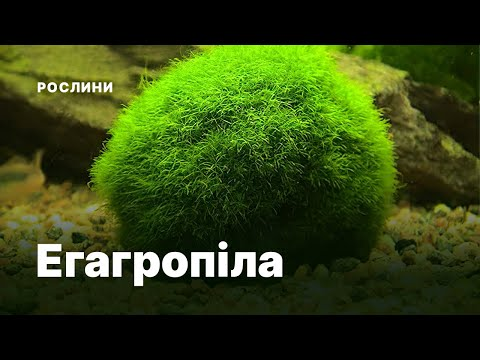 Кладофора куляста або егагропіла (Cladophora aegagropila)