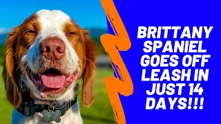 Sevierville Dog Trainers  1 Year Old Brittany Spaniel Goes Off Leash