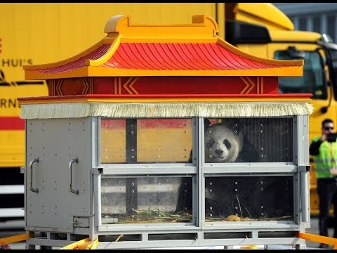Two Giant Pandas Travel 8,000 Km From China To Belgium