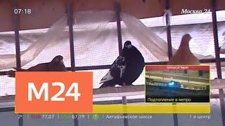 как законно устроить голубятню в городе - Москва 24