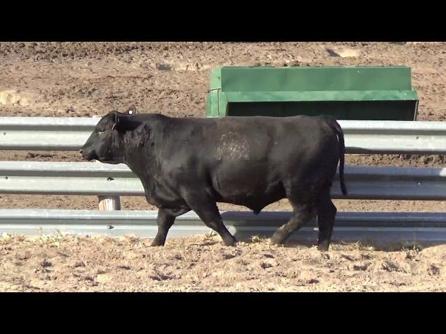 Connealy Angus Lot 245