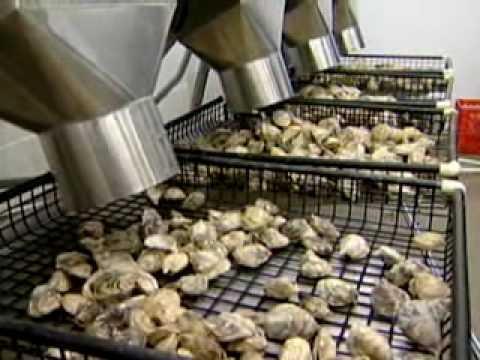 New Technology Oyster Grading Equipment - Stellar Bay Shellfish