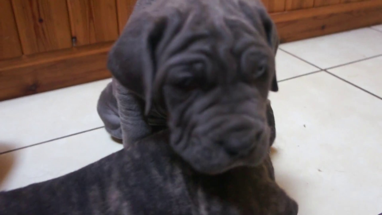 Neapolitan Mastiff Puppies Week 5 Litter of Puppies Play with Big Sister