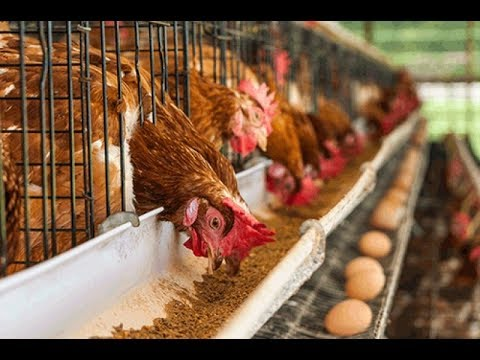 How to start Poultry Farming in Ghana