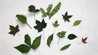 How to dry leaves